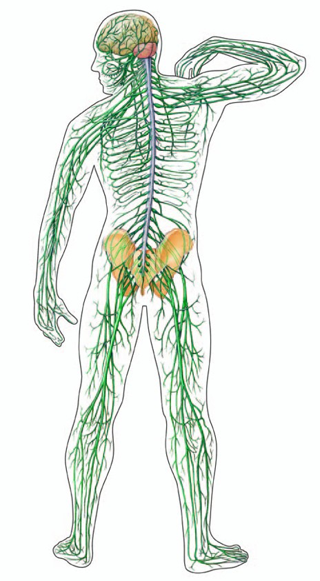 frog digestive system diagram labeled. human digestive system diagram